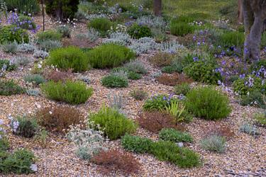 p pini re filippi plantes pour jardin sec. Black Bedroom Furniture Sets. Home Design Ideas
