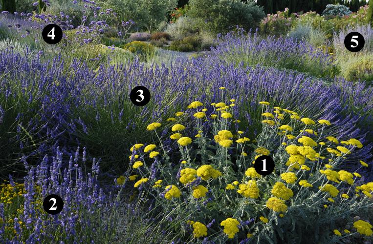 Salvia officinalis lavandula angustifolia and chang 39 e 3 for Jardin sec