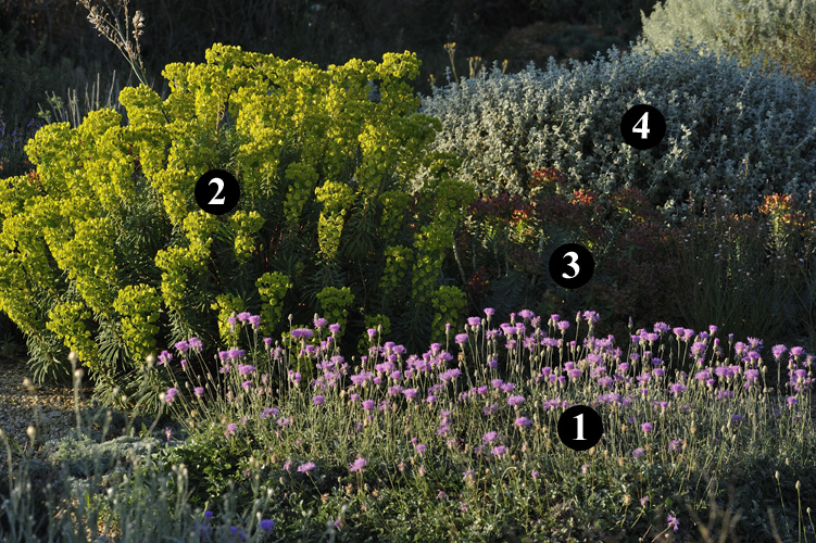 1 bupleurum fruticosum 2 lavandula x intermedia 39 hidcote giant 39 3 achillea clypeolata 4. Black Bedroom Furniture Sets. Home Design Ideas
