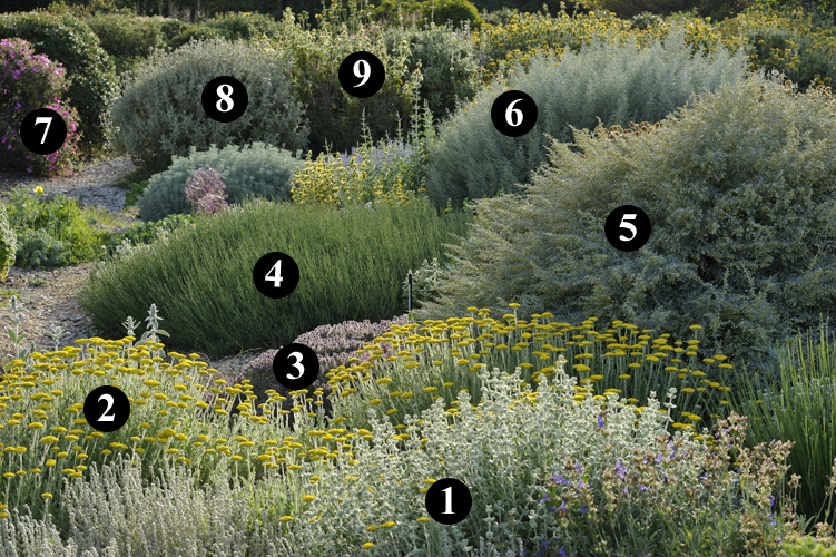 1 achillea nobilis 2 achillea millefolium 3 for Jardin sec